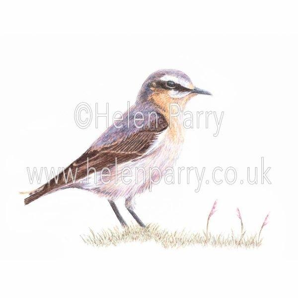 greeting card of Wheatear bird in watercolour