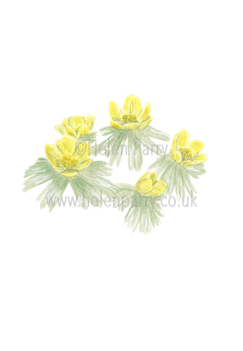 Winter Aconite by Watercolour Artist Helen Parry