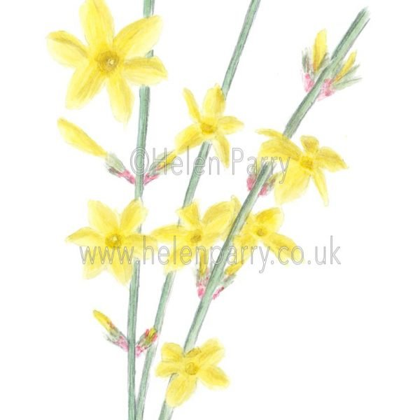 Winter Jasmine by Watercolour Artist Helen Parry