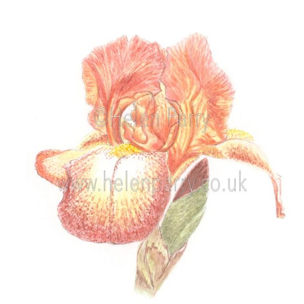 Chestnut Brown Iris by Watercolour Artist Helen Parry