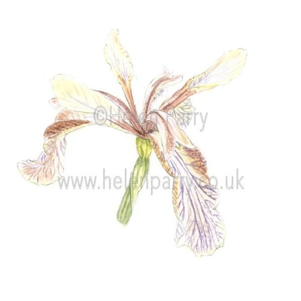 Iris Foetidissima by Watercolour Artist Helen Parry