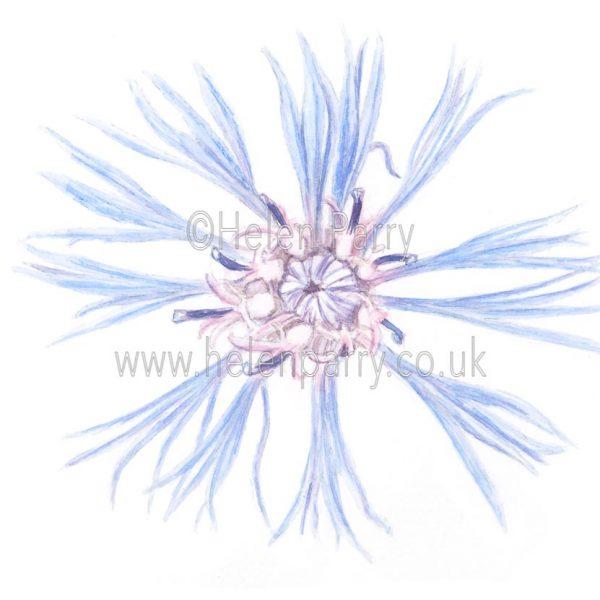 Mountain Cornflower by Watercolour Artist Helen Parry
