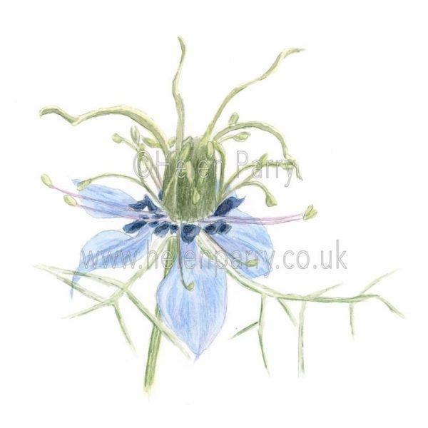 Nigella by Watercolour Artist Helen Parry