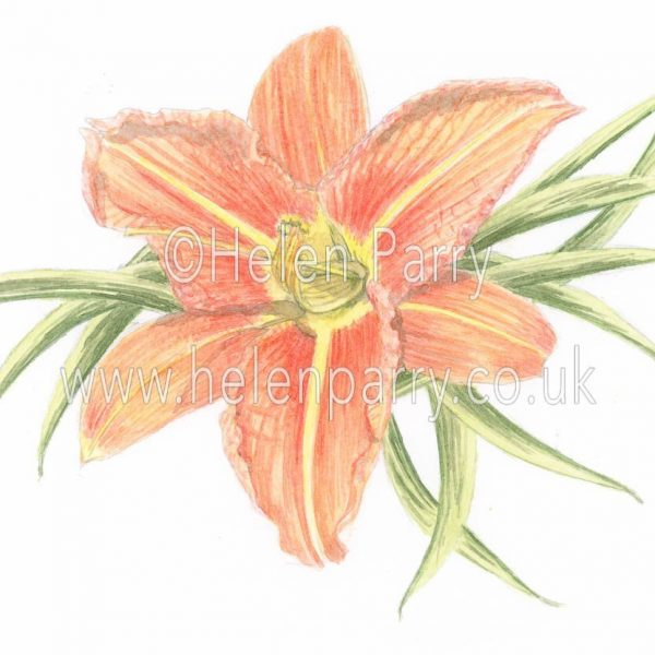 watercolour painting of orange daylily flower i