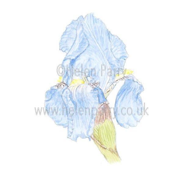 Pale Blue Iris by Watercolour Artist Helen Parry