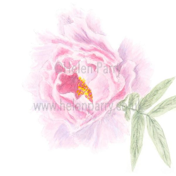 Peony by Watercolour Artist Helen Parry