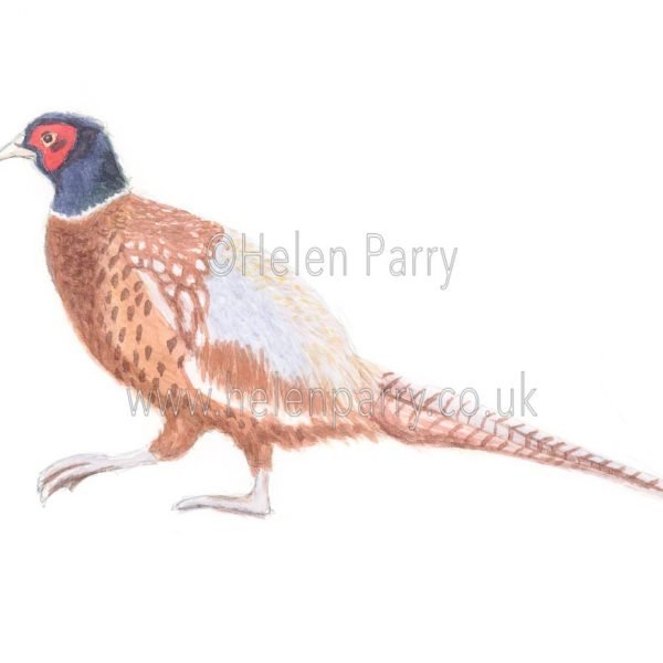 Pheasant by Watercolour Artist Helen Parry