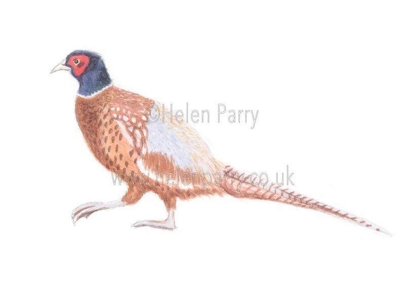 Pheasant by Watercolour Artist Helen Parry
