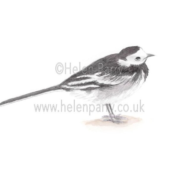 Pied Wagtail by Watercolour Artist Helen Parry