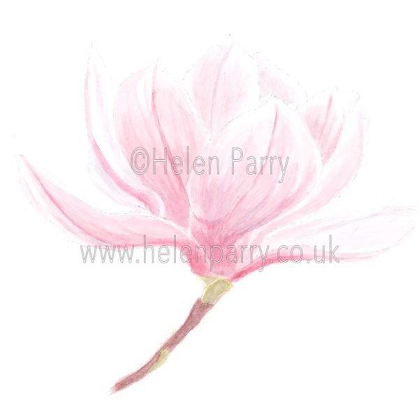 Pink Magnolia by Watercolour Artist Helen Parry