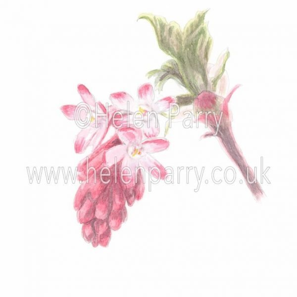 watercolour painting of pink winter currant flowers