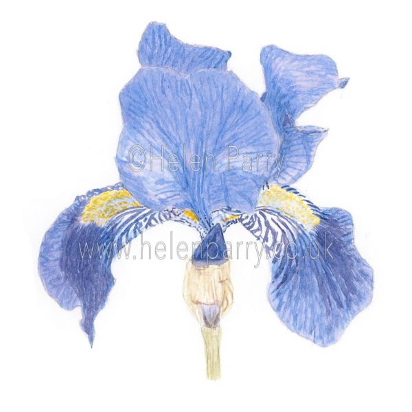 Purple Iris by Watercolour Artist Helen Parry