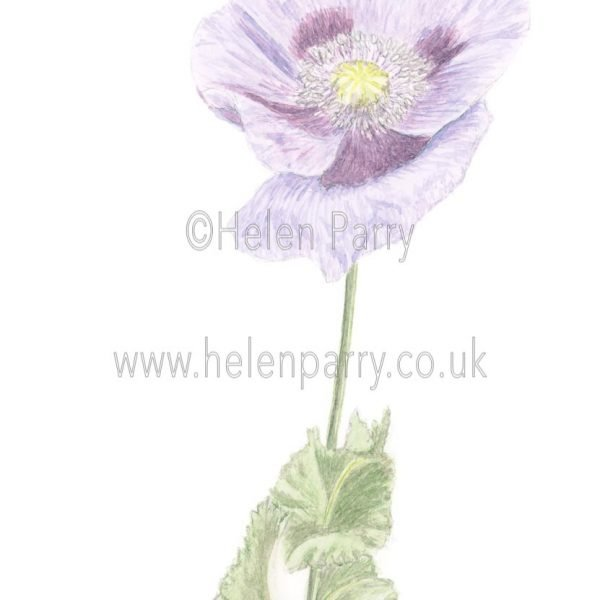 Purple Poppy (Papaver) by Watercolour Artist Helen Parry