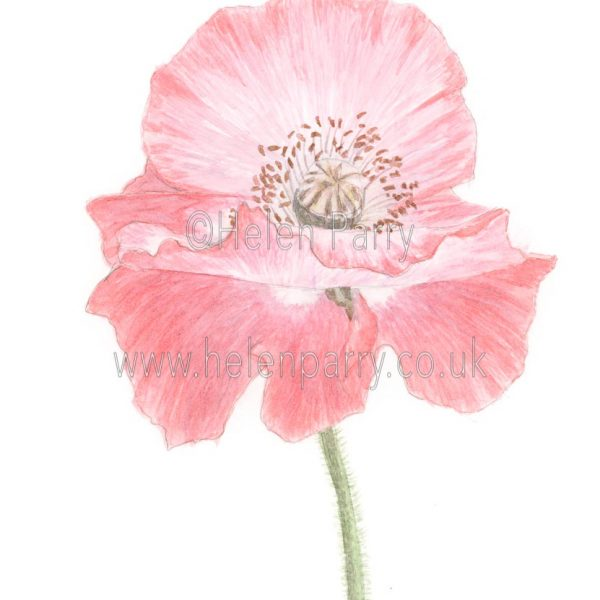 Red White Poppy (Papaver) by Watercolour Artist Helen Parry