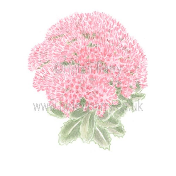Sedum by Watercolour Artist Helen Parry