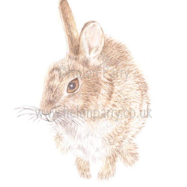 Wild Rabbit by Watercolour Artist Helen Parry