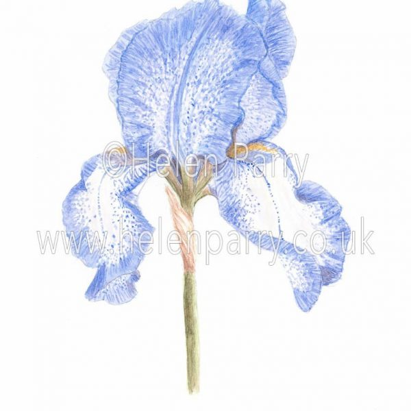 watercolour painting of bearded iris flower