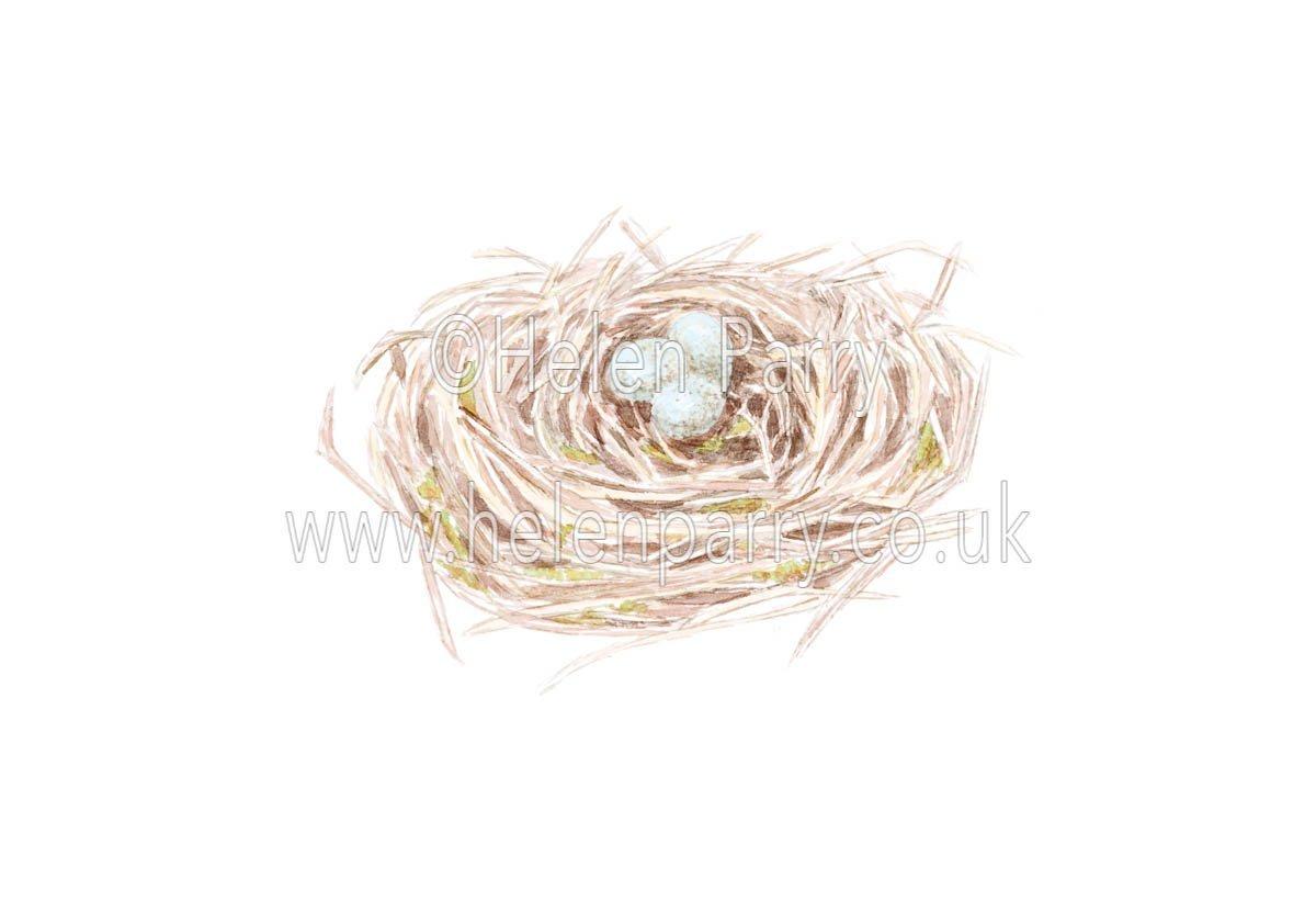 Blackbirds Nest by watercolour artist Helen Parry