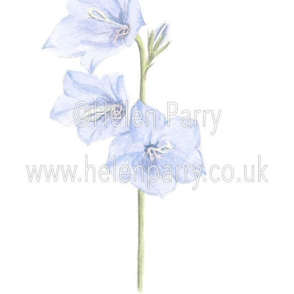 Campanula by watercolour artist Helen Parry