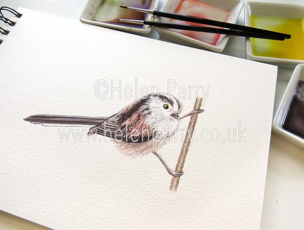 Long Tailed Tit watercolour sketch by Helen Parry