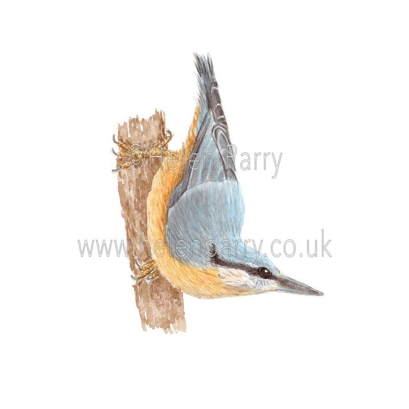 Nuthatch by Watercolour Artist Helen Parry
