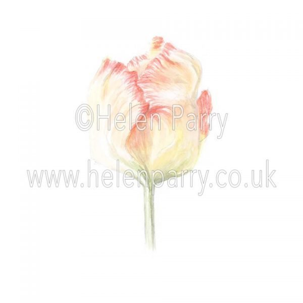 Pale yellow Tulip with Red Frills by watercolour artist Helen Parry