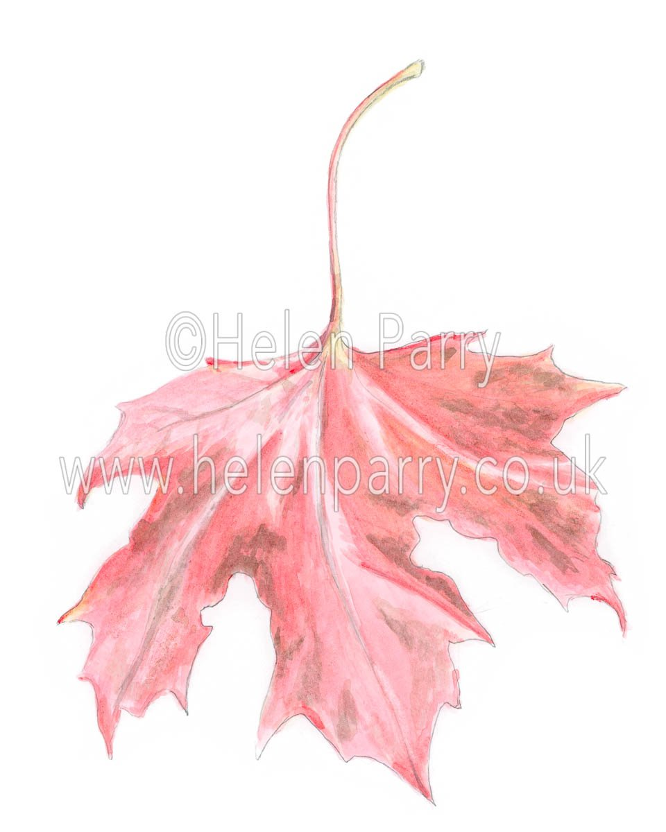 Red Maple Leaf by watercolour artist Helen Parry