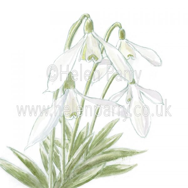 Snowdrops (Galanthus) by watercolour artist Helen Parry