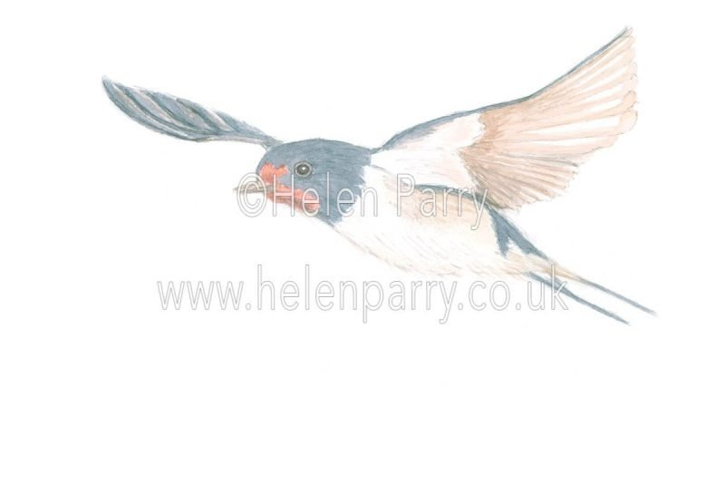 Swallow Flying by watercolour artist Helen Parry