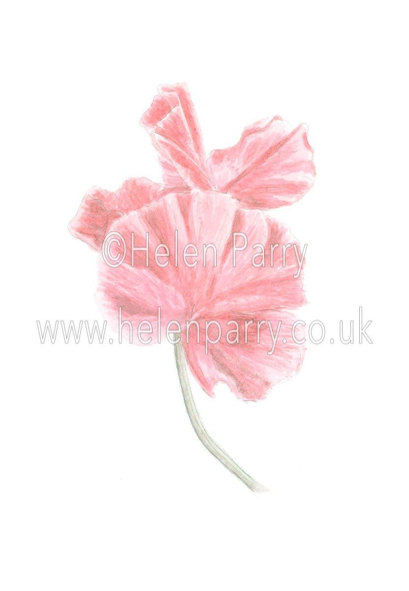Sweetpea by watercolour artist Helen Parry