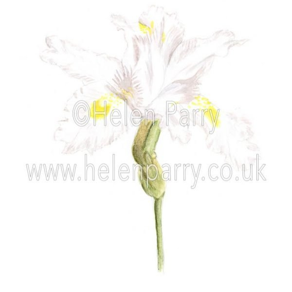 White Iris by watercolour artist Helen Parry