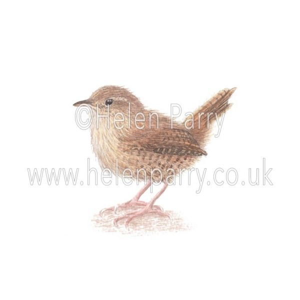 Wren by watercolour artist Helen Parry