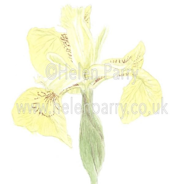 Yellow Iris by watercolour artist Helen Parry