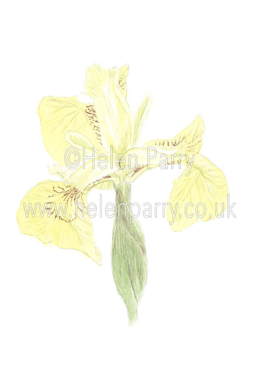 Yellow Iris by watercolour artist Helen Parry