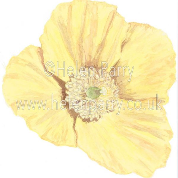 Yellow Poppy by watercolour artist Helen Parry