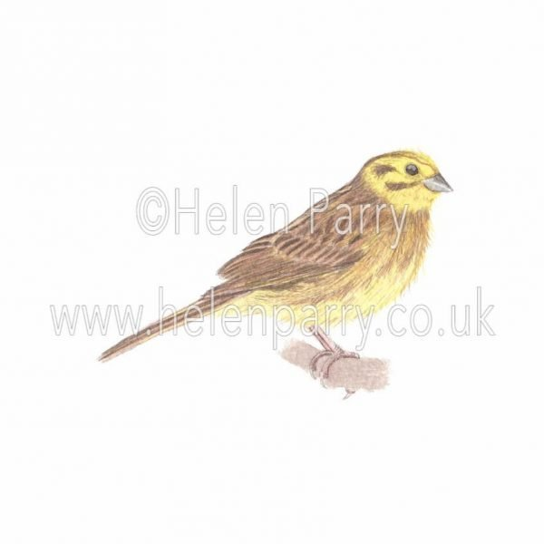 watercolour painting of yellowhammer bird