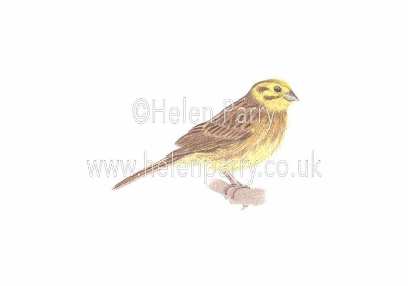 watercolour painting of yellowhammer bird