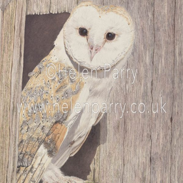 watercolour painting of Barn Owl on barn door