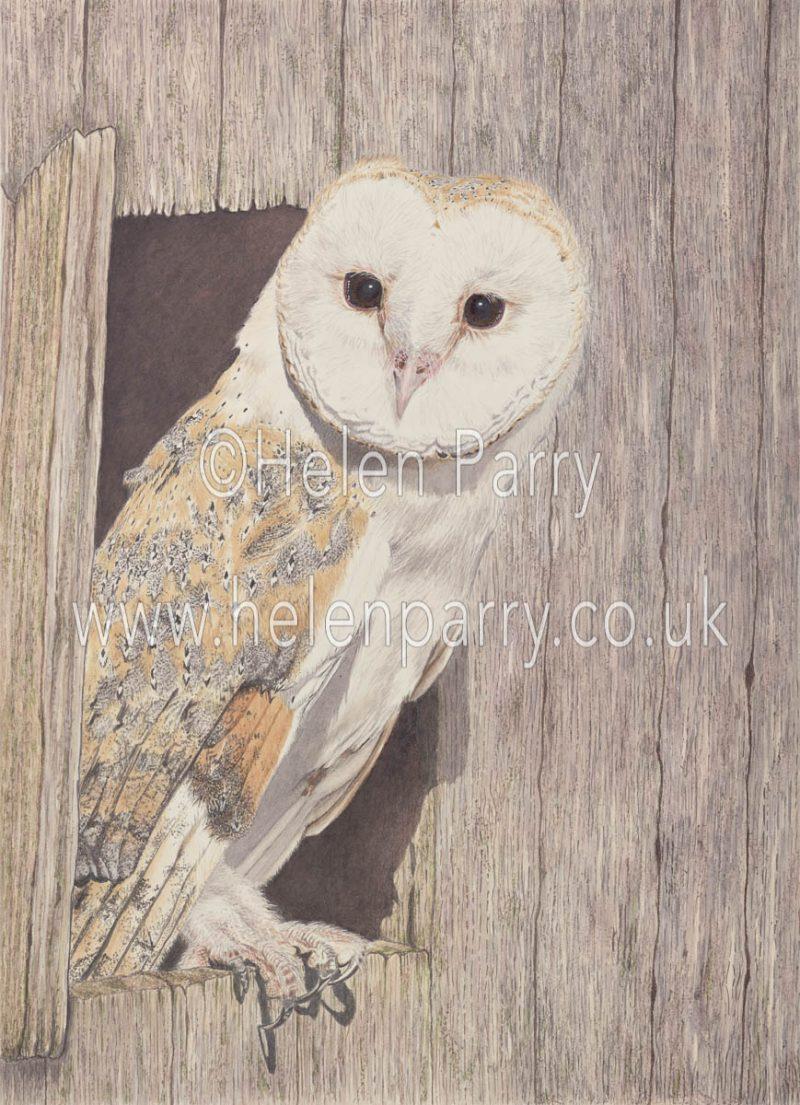 watercolour painting of Barn Owl on barn door