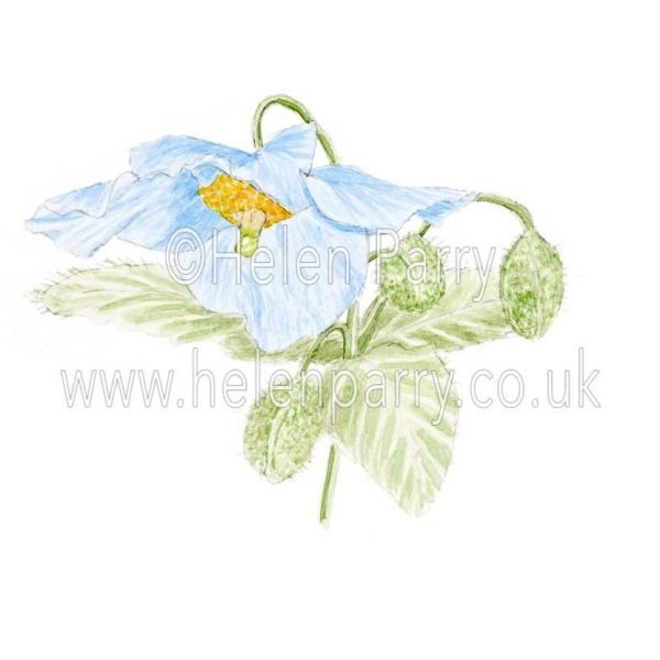 Blue Himalayan Poppy by Watercolour Artist Helen Parry