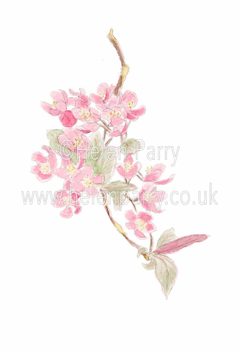 watercolour painting of cherry blossom branch