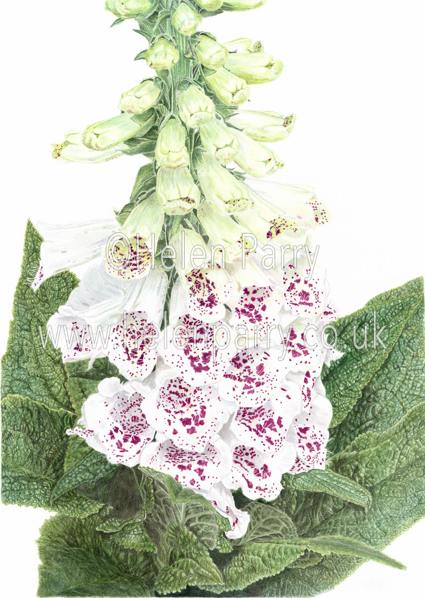 watercolour painting of foxglove flowers