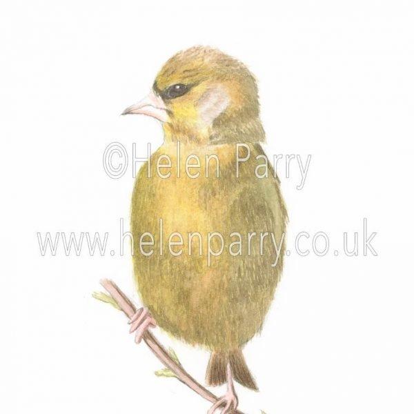 watercolour painting of Green Finch bird