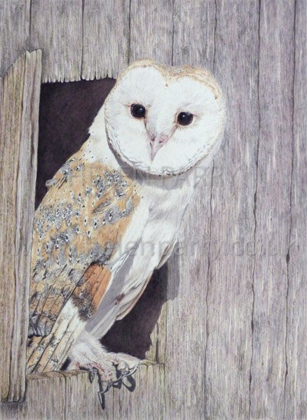 Barn Owl watercolour painting by Helen Parry
