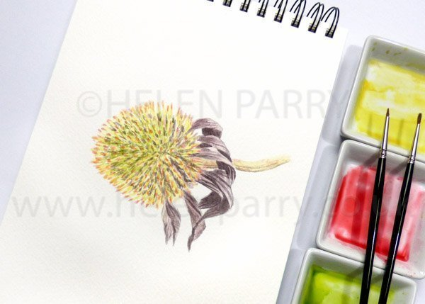Echinacea watercolour sketch by Helen Parry