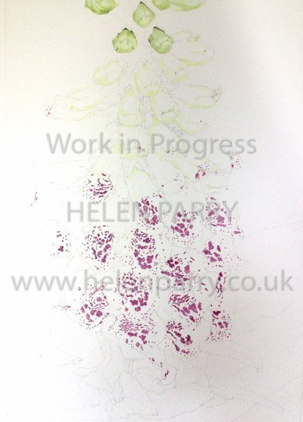 First stage Foxglove watercolour painting