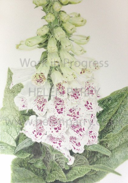 Fifth stage Foxglove watercolour painting