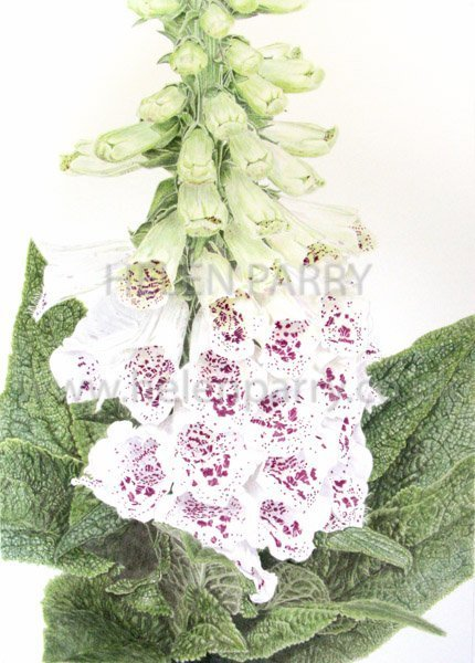 Foxglove watercolour painting by Helen Parry