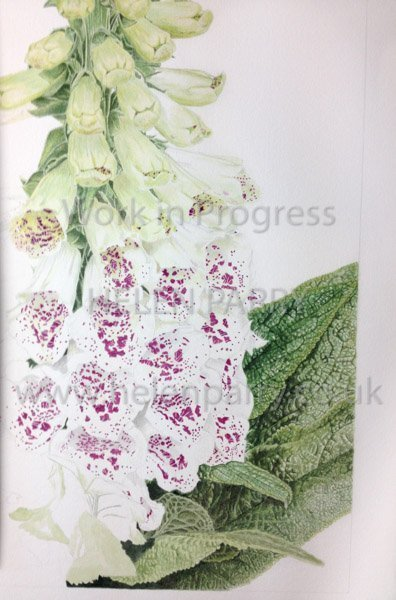Third stage Foxglove watercolour painting