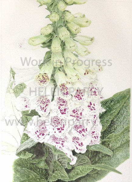 Fourth stage Foxglove watercolour painting